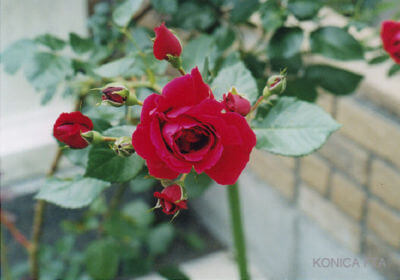 実家の薔薇です
