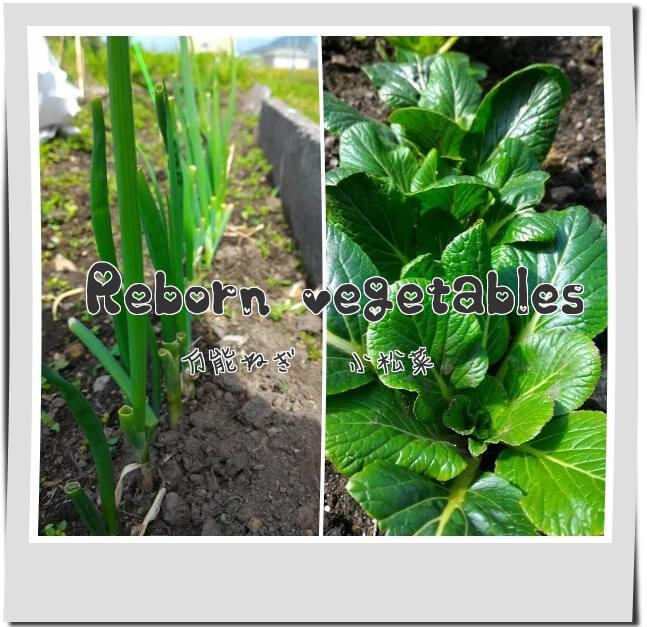 我が家の畑(土)に植えてある再生野菜の万能ネギと小松菜